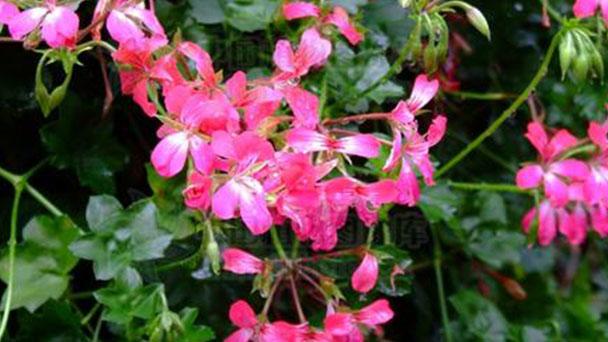 Pelargonium peltatum (Ivy Geranium) profile