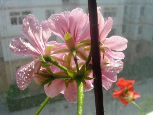 care for Ivy Geranium