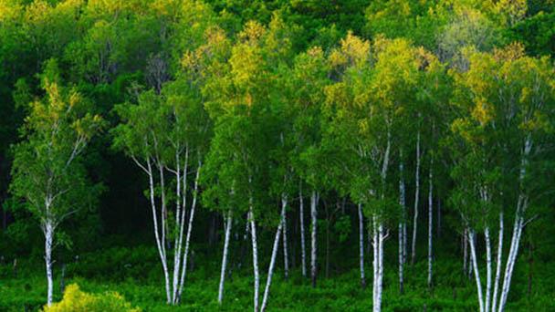 Betula platyphylla (Japanese white birch) profile