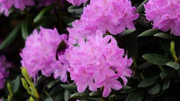 Lapland Rosebay (Rhododendron lapponicum) profile