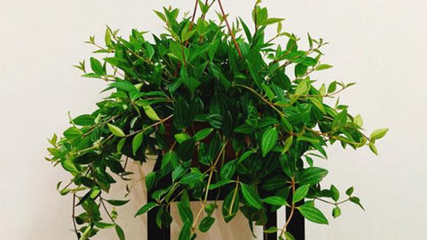 Peperomia puteolata (Parallel Peperomia) plant care