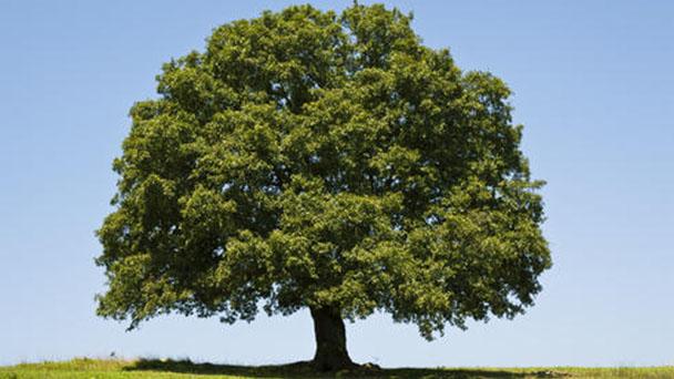 Pin oak (Quercus palustris) profile