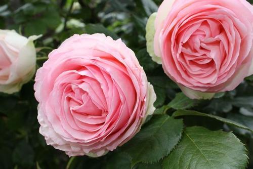 Rosa Eden
