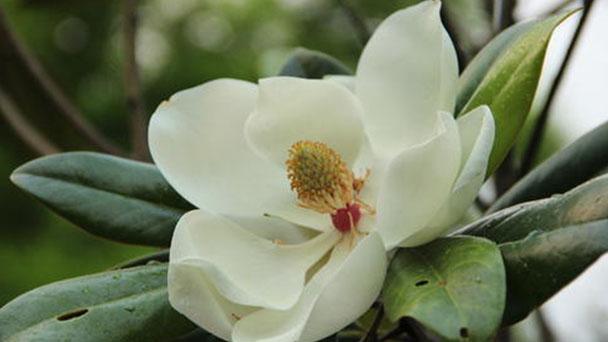 Southern magnolia (Magnolia grandiflora) profile