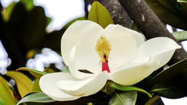 How to propagate Southern Magnolia
