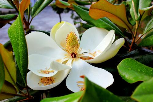 care for Southern Magnolia