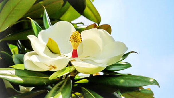 Southern Magnolia care-how to grow Magnolia grandiflora