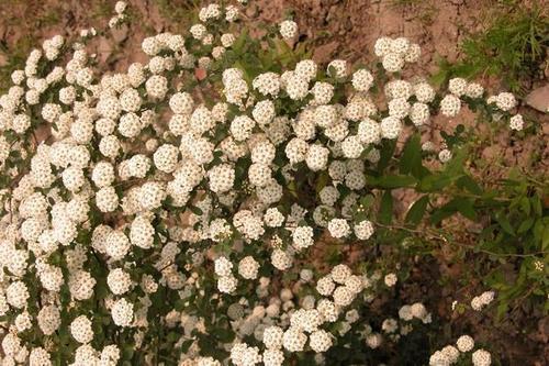 Spiraea salicifolia