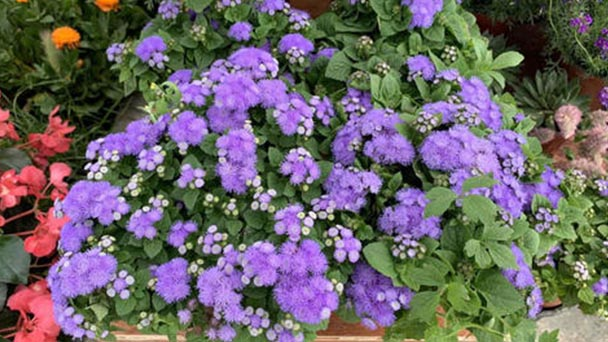 Ageratum conyzoides (billygoat weed) profile