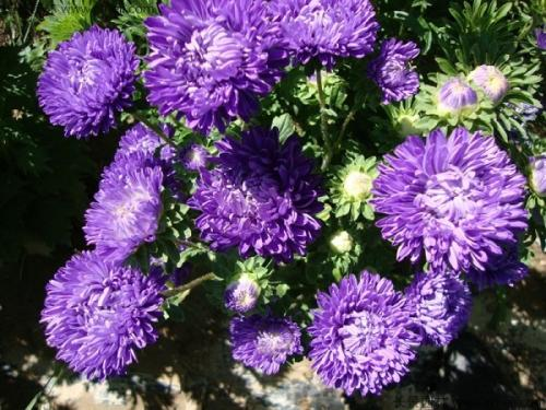 China aster care