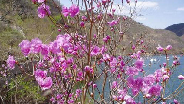 Rhododendron mucronulatum (Cornell pink) profile