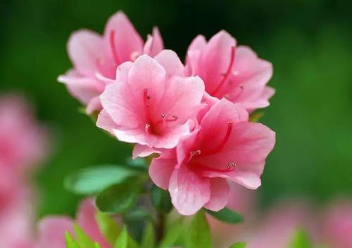 Cornell Pink