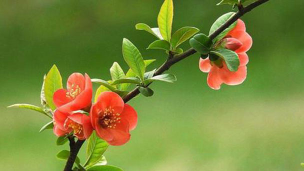 Chaenomeles speciosa (flowering quince) profile