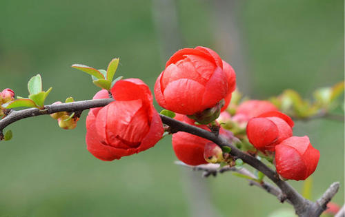 care for flowering quince