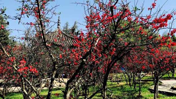 How to grow and care for flowering quince