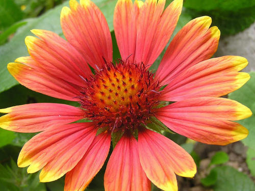 care for Indian blanket