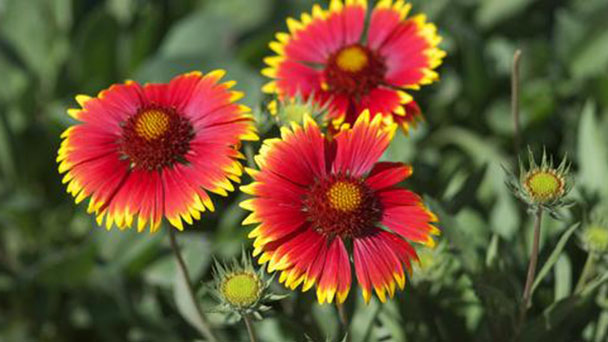 How to grow and care for Indian blanket (Gaillardia Pulchella)