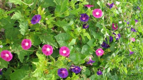 Japanese morning glory (Ipomoea nil Roth) profile