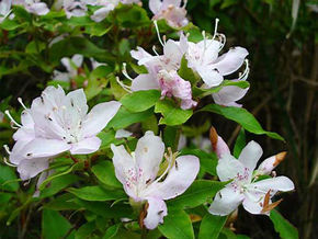 Rhododendron ovatum