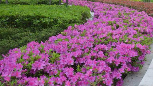 Rhododendron simsii profile