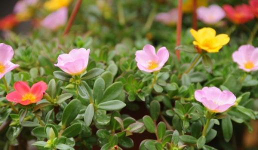 Scutellaria barbata
