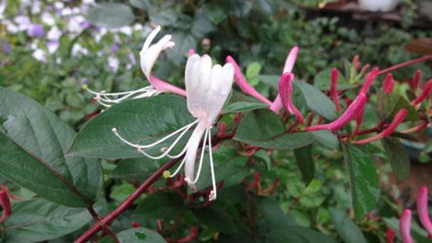 Lonicera acuminata (vine honeysuckle) profile