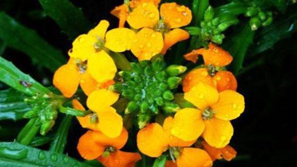 Cheiranthus cheiri (wallflower) profile
