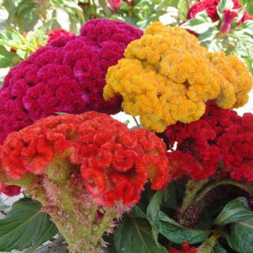 Cockscomb flower