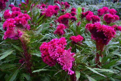 Celosia care: how to grow Cockscomb flower