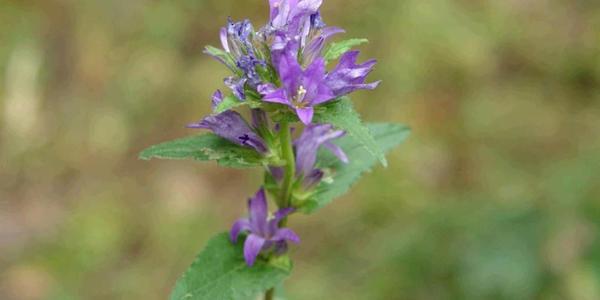 Carpathian bellflower