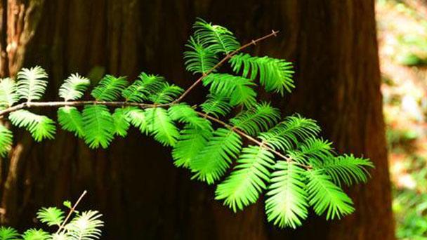 Metasequoia glyptostroboides (dawn redwood) profile