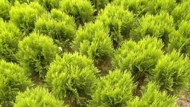 Juniperus formosana (Formosan juniper) profile