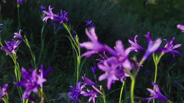 Ixiolirion tataricum (Siberian lily) profile