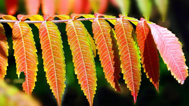 Ailanthus altissima (tree of heaven) profile