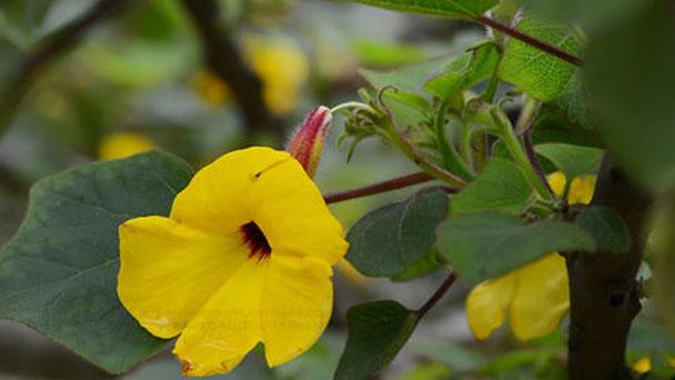 Yellow unicorn-plant (Ibicella lutea) profile