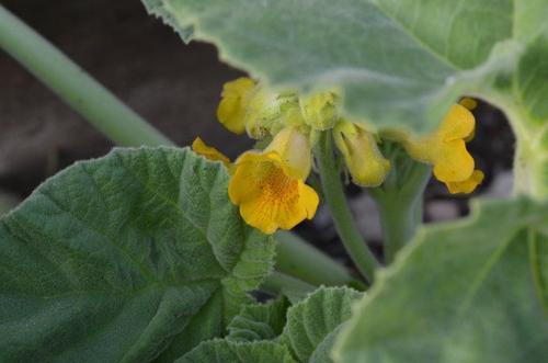 Yellow Unicorn-Plant
