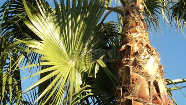 Windmill Palm (Trachycarpus Fortunei) profile