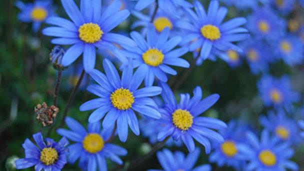 Felicia amelloides (blue daisy) profile
