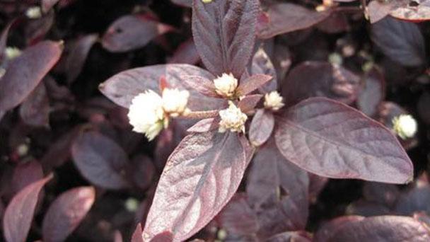 Calico plant (Alternanthera bettzickiana) profile