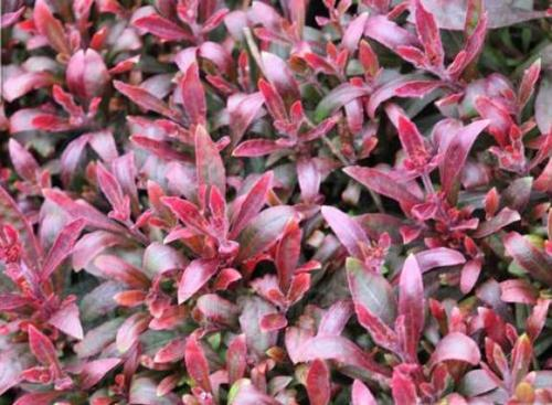 Calico-plant