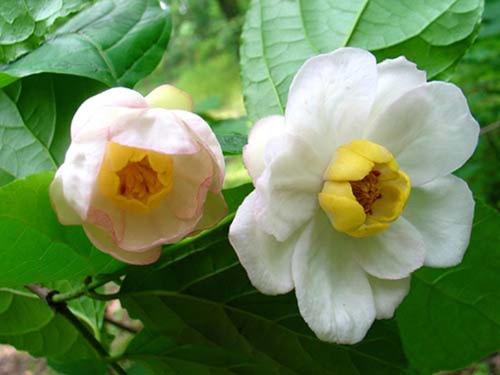 Chinese sweetshrub