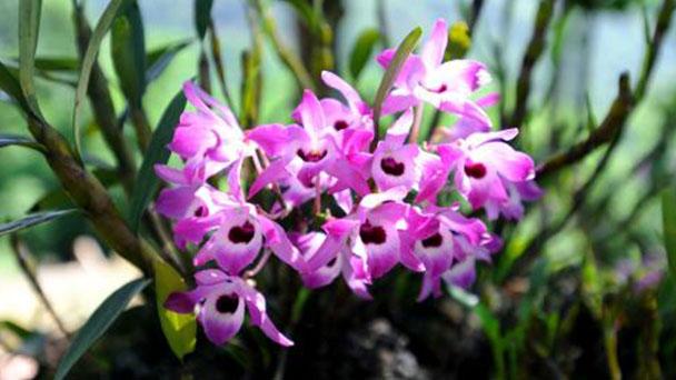 Dendrobium nobile profile