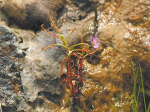 Drosera indica