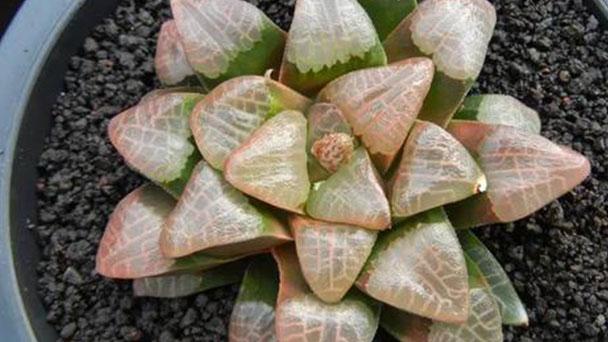 Haworthia bayeri profile