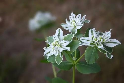 Japanese helwingia