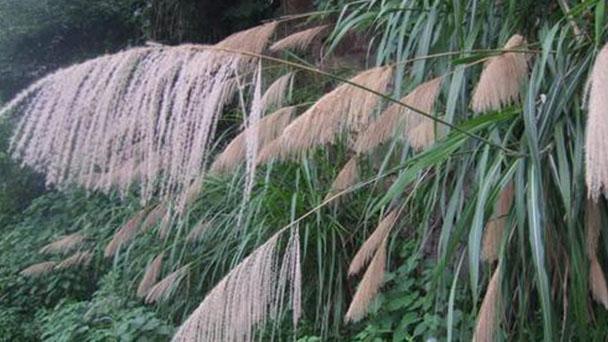 Pacific Island silvergrass (Miscanthus floridulus) profile