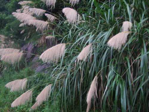 Pacific Island silvergrass