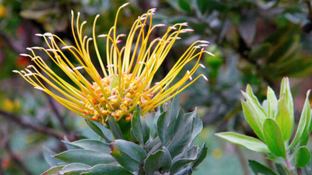 Scabiosa atropurpurea (pincushion flower) profile