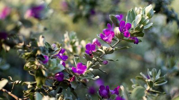 Texas sage (Leucophyllum frutescens) profile