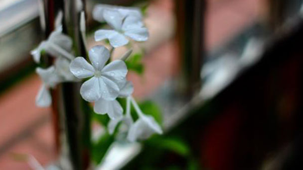 Orlaya grandiflora (White lace flower) profile